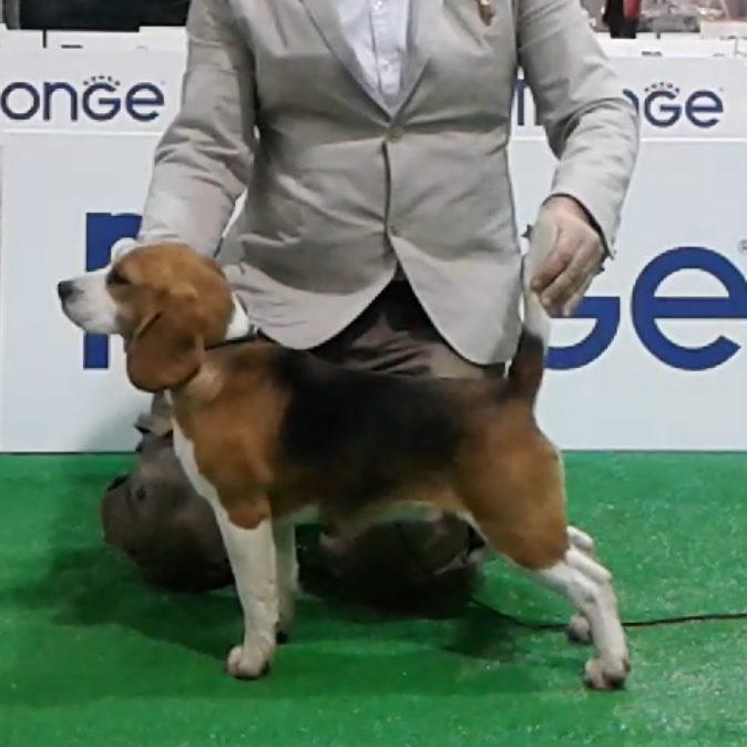 allevamento beagle torino napoli cuccioli