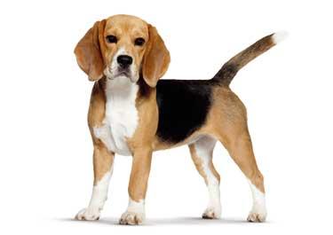 Info sul beagle beagle la marca for Tequila e bonetti cane razza