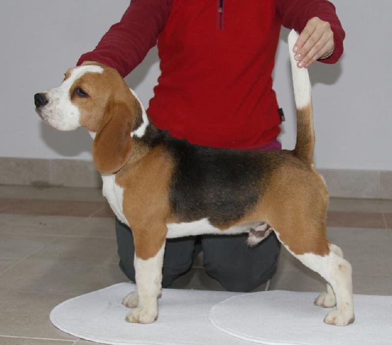 Cucciolata Nata Il 5 Ottobre Beagle La Marca