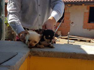 Archivi Cucciolate Beagle La Marca